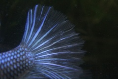 Blue/black male betta tail