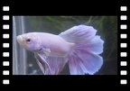 Pink Rose Tail Dumbo Betta splendens