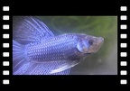 Black/Blue Male Betta Splendens