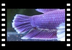Purple Salamanda HMPK Dumbo.
